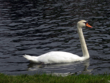 Swan at Boston Public Garden