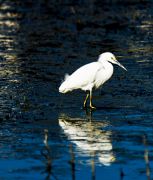 A Snowy Egret looking for dinner at a pond along Humbug Creek.