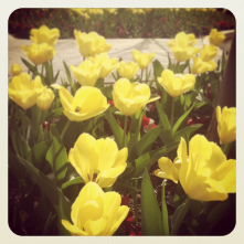 Tulips outside the US Bank Building on Capitol Mall
