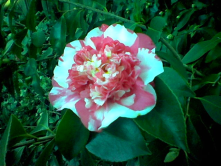 Camelias grow great in Sacramento, this one is from my yard