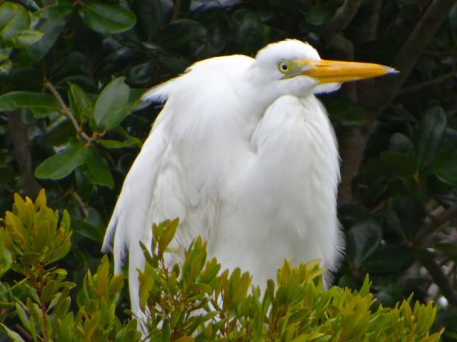 A resting egret near Wrightsville Beach.