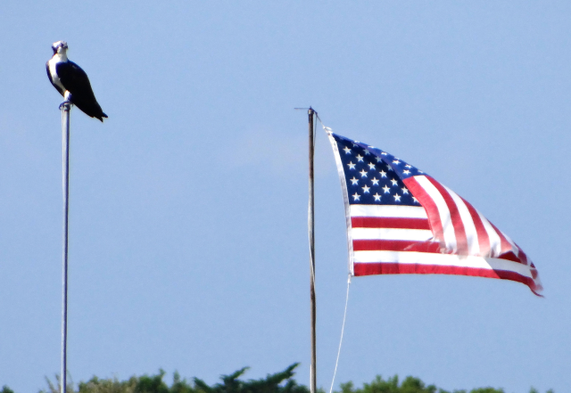 Osprey and Old Glory in Wilmington.
