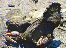 Fiddler crabs and oysters near Masonboro Island