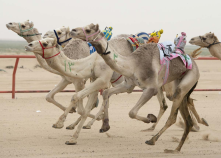 Camels ridden by robot jockeys. The robots are controlled by trainers, who follow in their vehicles around the track. REUTERS/Stephanie McGe