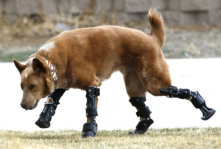 Naki'o, World's First 'Bionic' Dog