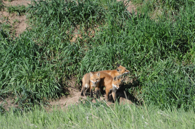 Being able to watch fox kits right in town- in the park near my house.  Being able to access nature easily is important!