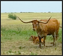 Seeing cattle on the open field helps the kids realize that there's more to life than cars & cement.