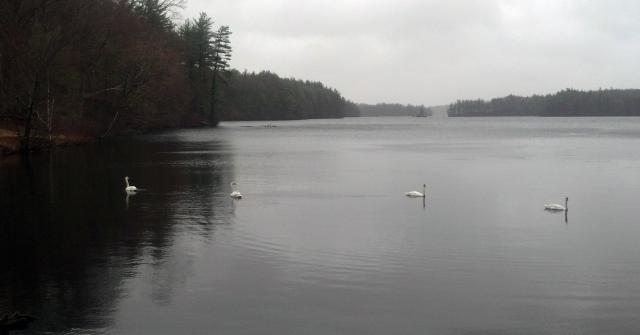 Swans on Lake Whitehall