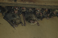 Bats at NS: Encourages people to make their property wildlife friendly. Great opportunity to see bats.