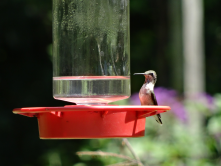 Hummingbird Fest at Nature Station: my favorite event. Quite the spectacle!
