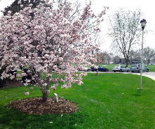 Saucer magnolia at Fort Omaha Campus. Historic parade ground beyond.