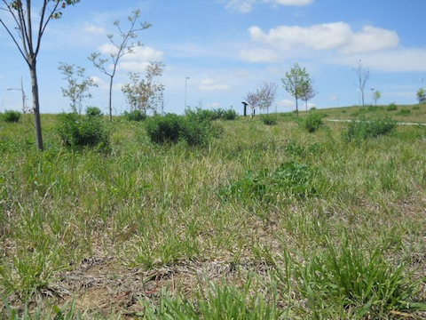 Native Grasses in Omaha Parks