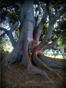 The Morton Bay Fig in Library Park