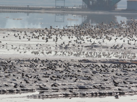 Crystallizer pond along Seaport Boulevard - this is a great place to see thousands of shorebirds! Photo from Jan 2014