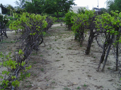 Vineyards & other Historic Agriculture of LA.